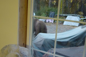 Image taken from my studio window.  The brown blob at the right is a grizzly bear.  It came up the driveway, looked in the studio at me, we locked eyes for a moment and I captured this image as it wandered away.