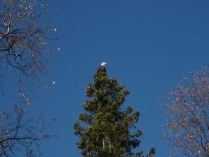 Bald eagle just outside the studio door.