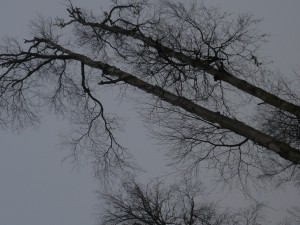 35 to 40 ft tall Alaskan paper birch trees tormented by heavy snow loads and high winds.