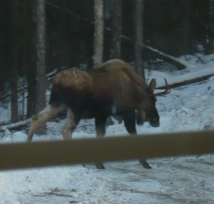 Young bull moose from studio window.